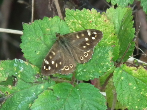 photo of Speckled Wood