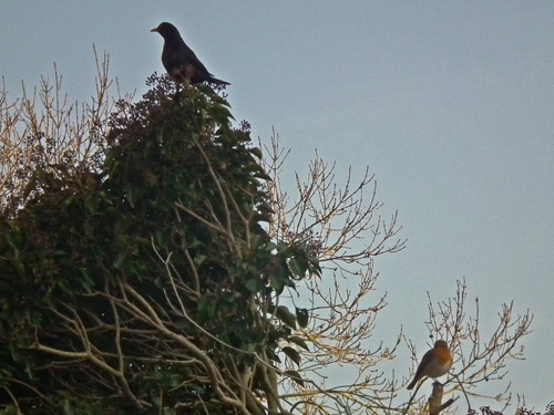 Blackbird and Robin on top of ivy-clad garage