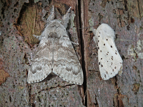 Pale Tussock and White Ermine