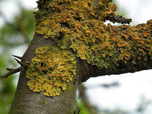Photo of a yellow lichen