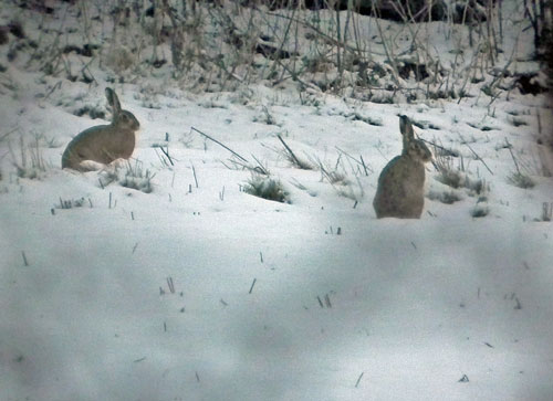 Photo of Hares