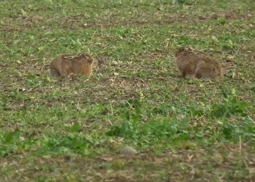 Photo of two hares