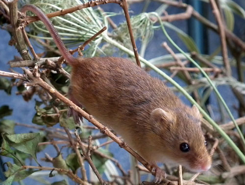 photo of harvestmouse