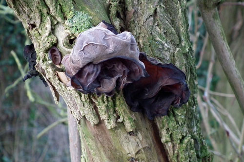 Photo of two Jew's ear fungus