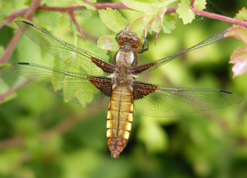 Photo of Broad-bodied Chaser dragonfly at Keyworth Meadow.